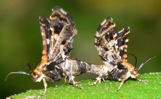 Tiny Orange Moths Mating - Thyris maculata - male - female
