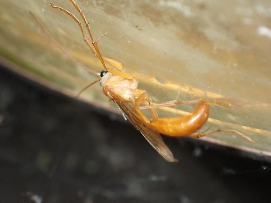 Rhopalosoma at porchlight - Rhopalosoma nearcticum - female