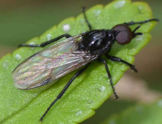 Fly - Dilophus - male