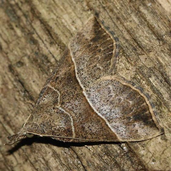 moth - Hypena deceptalis