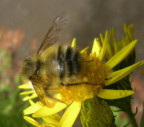 Bee - Bombus flavifrons