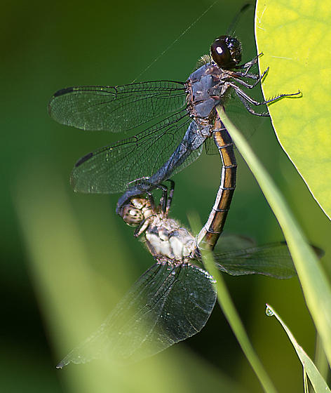 Salty Skimmer Male and Female - Libellula incesta - male - female