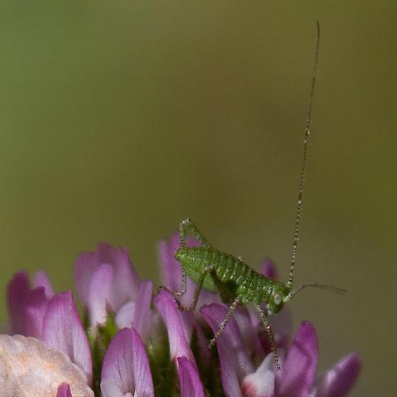 Katydid nymph - Microcentrum californicum