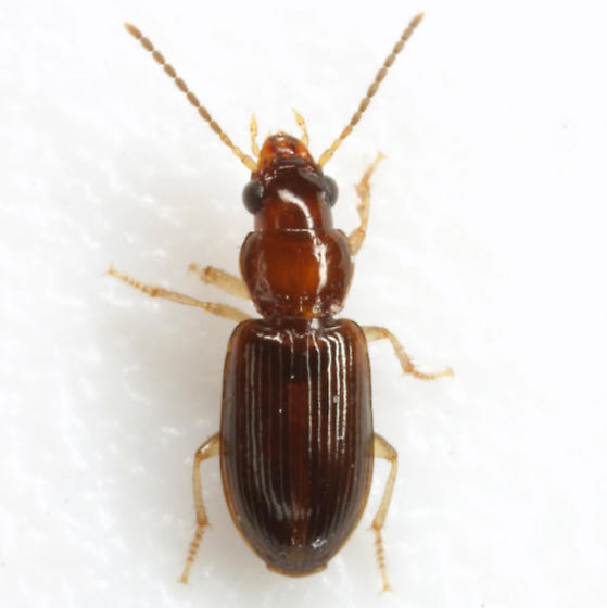 Acupalpus (Tachistodes) sp. - Acupalpus