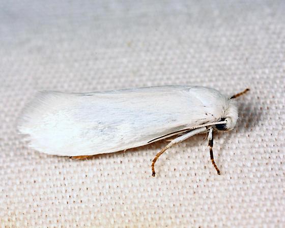 Bogus Yucca Moth