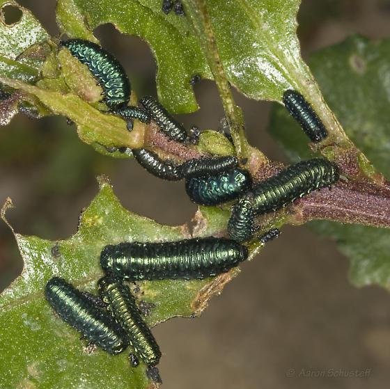 Trirhabda larvae on Coyote Brush - Trirhabda flavolimbata