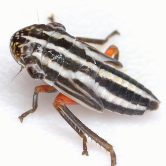 Cuerna costalis (Fabricius) - Cuerna costalis