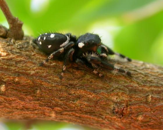 Phidippus workmani - male