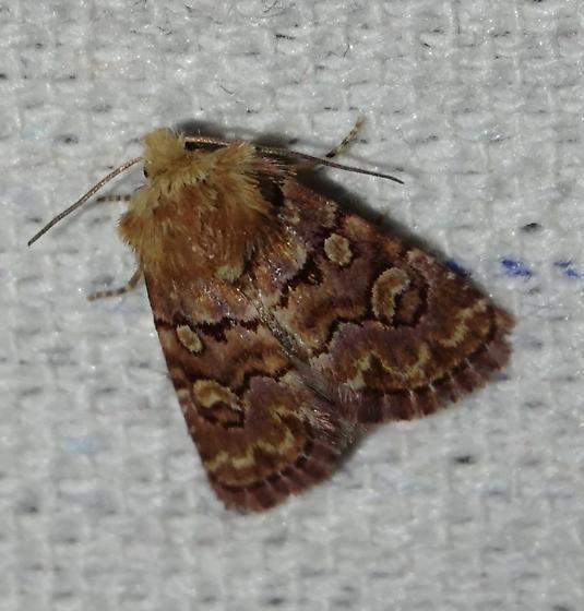 Noctuinae Moth - Euros proprius