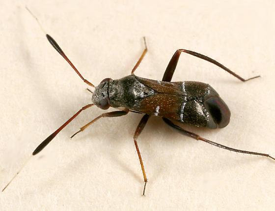 true bug - Pilophorus strobicola