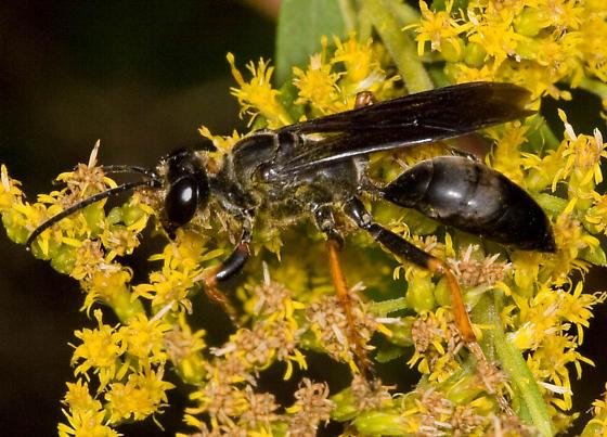 Polistes on goldenrod - Sphex nudus