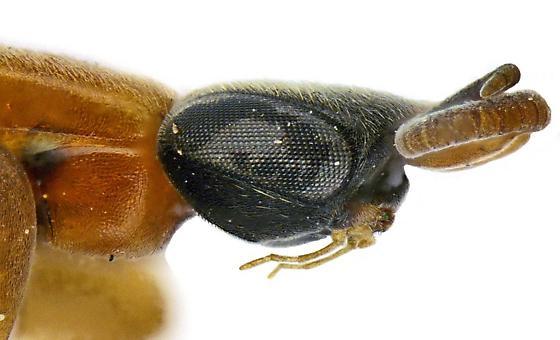 Sclerogibba talpiformis? Female? - female