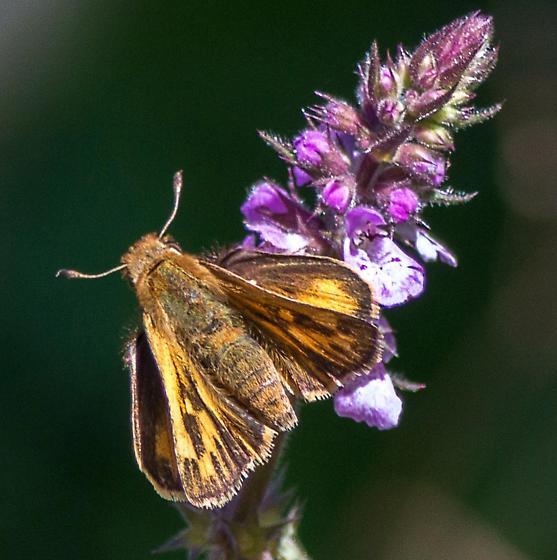 Hylephila phyleus Female? - Hylephila phyleus - female