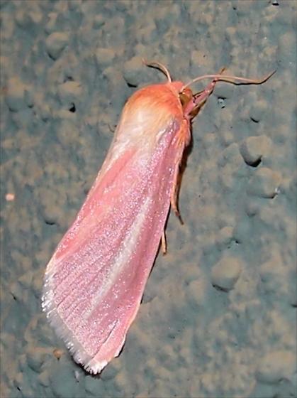 pink moth - Heliocheilus julia