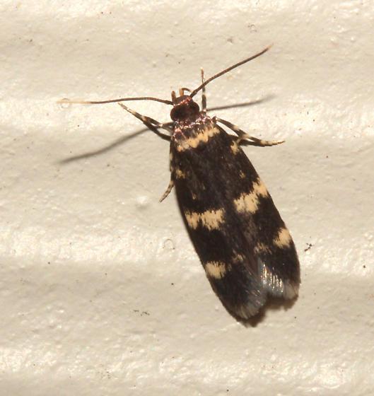 Autostichidae, Four-spotted Yellowneck Moth - Oegoconia novimundi