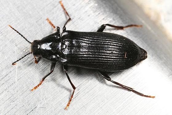 beetle - Melandrya striata