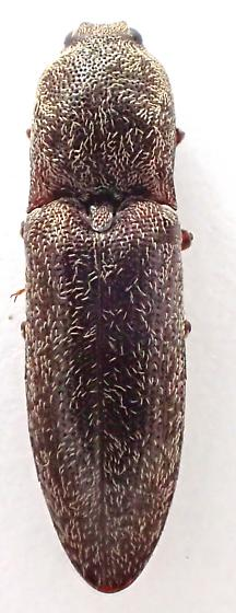 elateridae - Lacon nobilis