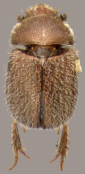 Parochodaeus californicus (Horn) - Parochodaeus californicus