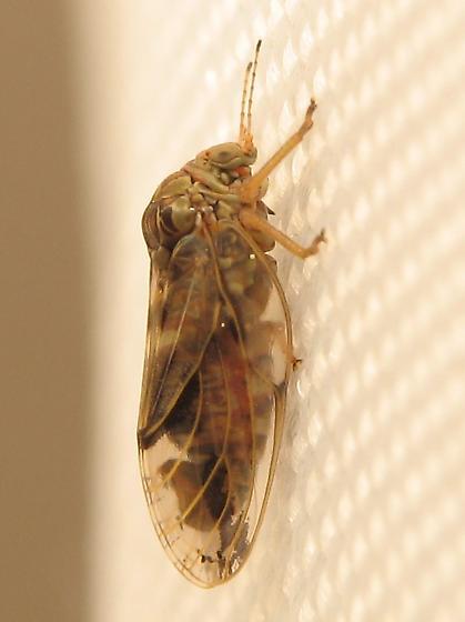Leaf Hopper? - Pachypsylla venusta