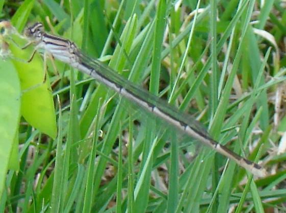 dragonfly - Enallagma