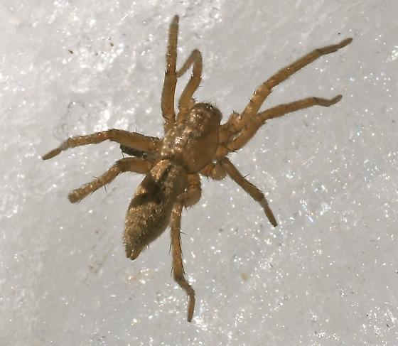Clubionidae? - Drassodes neglectus
