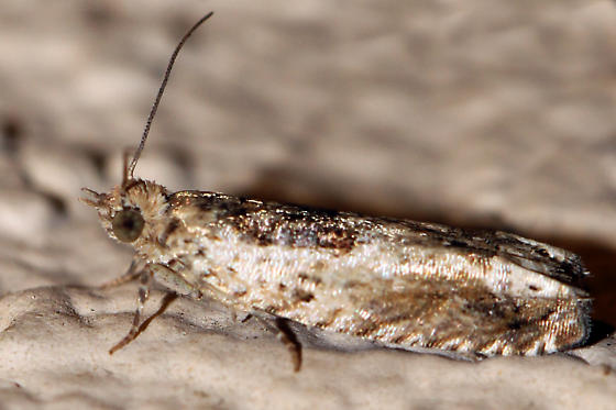 Which moth is this? - Crocidosema plebejana