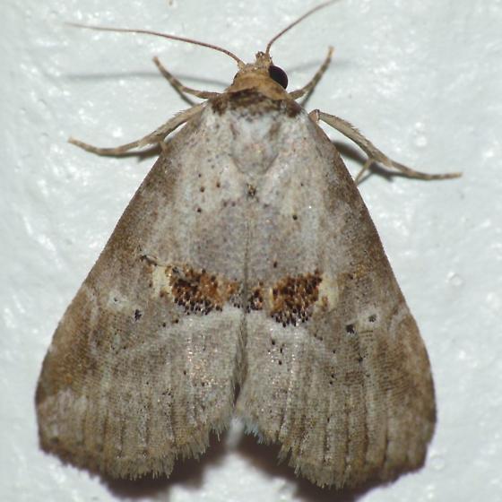 Erebidae - Hyperstrotia flaviguttata