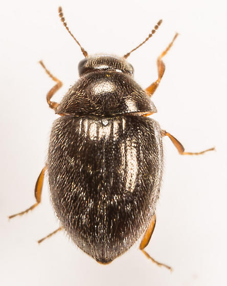 Beetle - Simplocaria semistriata - male