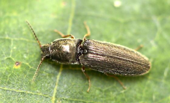 Click Beetle - Limonius quercinus