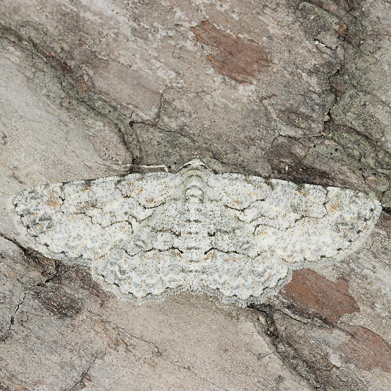 Iridopsis defectaria - female