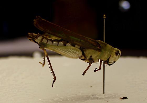 Acrididae Chorthippus? - Chortophaga viridifasciata - female