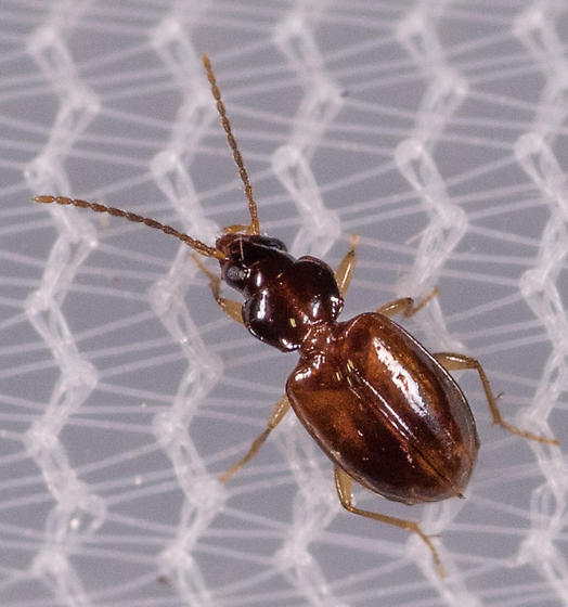 Beetle for ID - Tachys