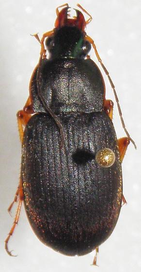 Chlaenius impunctifrons - female