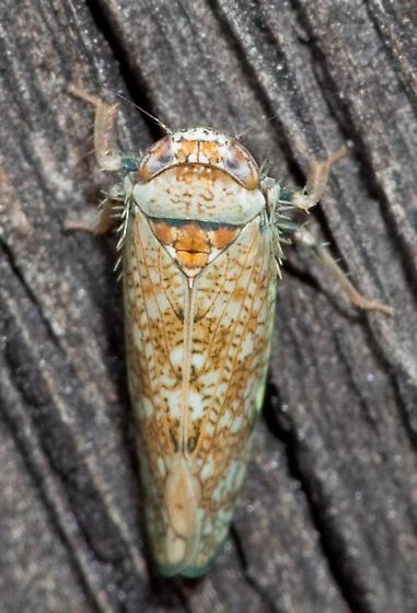 Leafhopper at the Bug Light - Orientus ishidae