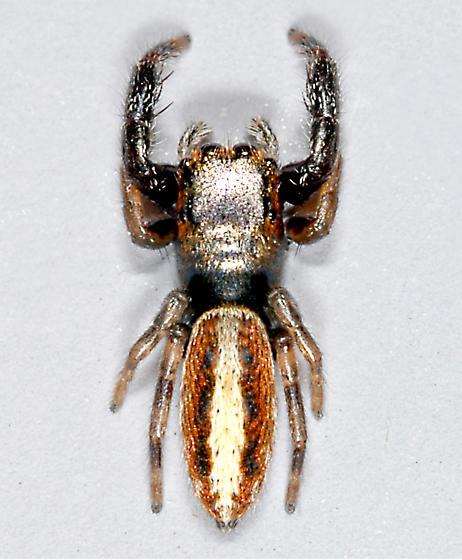 Salticid - Marpissa formosa - female