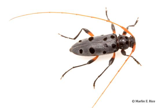 longhorned beetle - Lepturges regularis