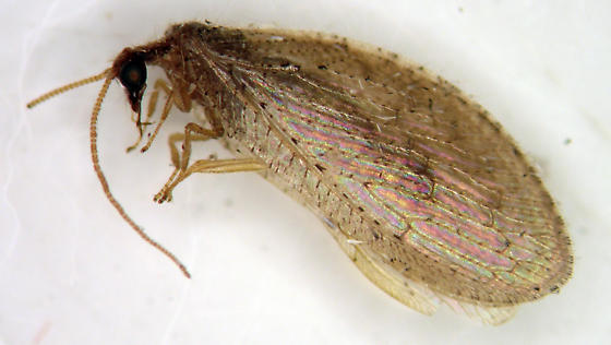 Brown Lacewing - Hemerobius