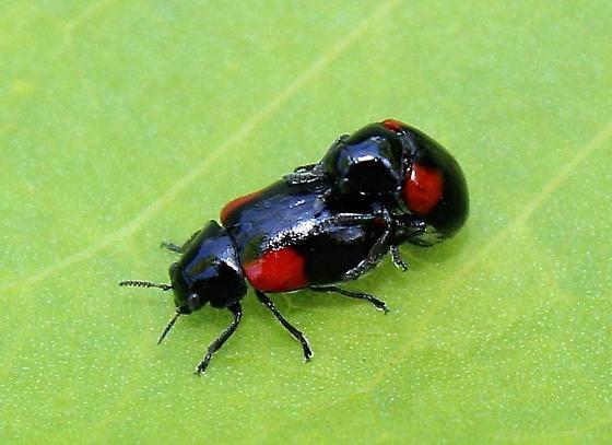 Eastern babia - Babia quadriguttata - male - female
