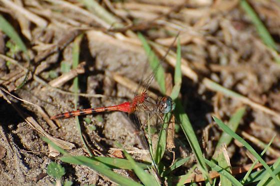 dragonfly - Sympetrum ambiguum