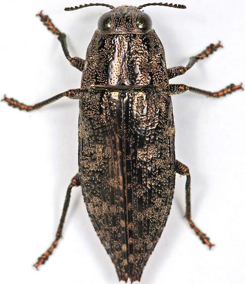 Beetle - Dicerca obscura
