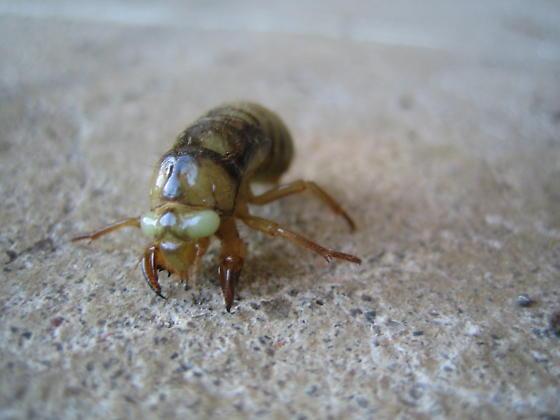 Green Bug - Platypedia