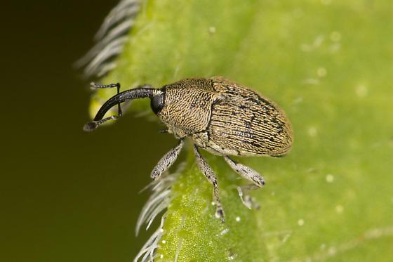 curculionid - Geraeus picumnus
