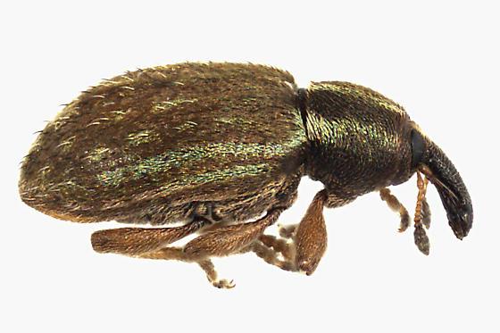 Weevil Beetle - Hypera nigrirostris