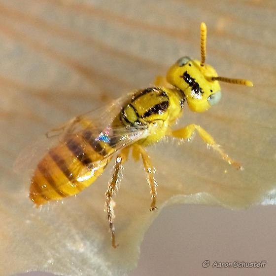Small Yellow Bee? - Perdita bicuspidariae - BugGuide.Net