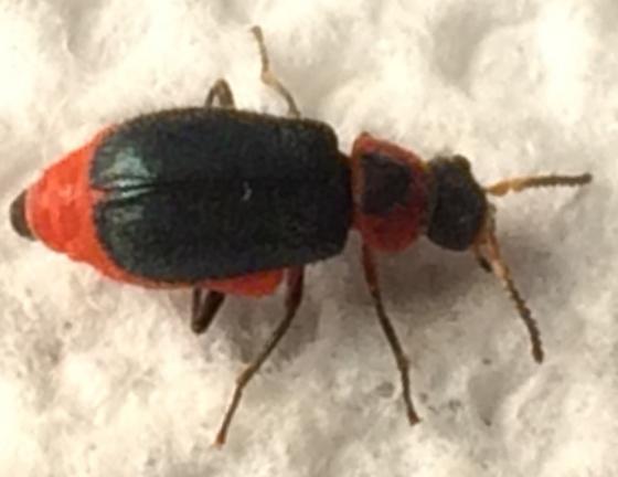 Beetle - Collops nigriceps