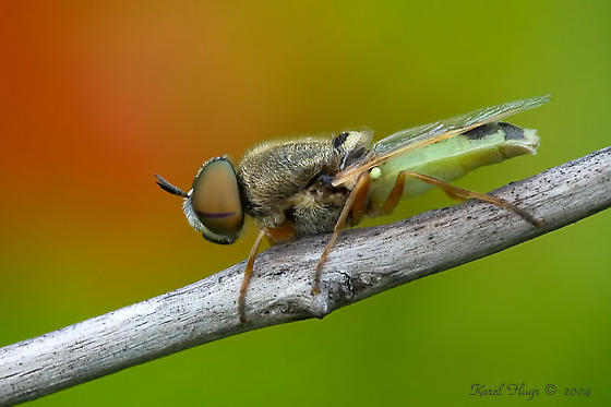Soldier Fly or hover fly? - Hedriodiscus vertebratus