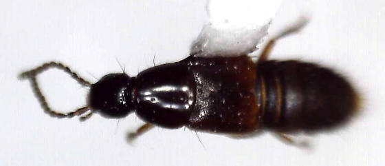 Heterothops conformis Hatch - Heterothops conformis