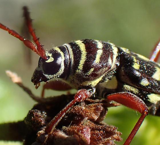 beetle - Placosternus difficilis