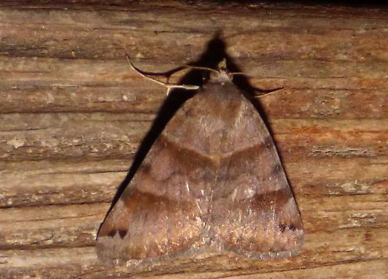 5/27/18 moth D - Caenurgina crassiuscula