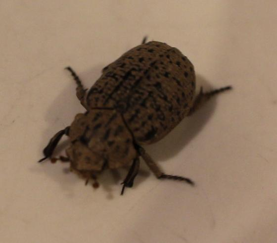 Spotted Brown Beetle 1